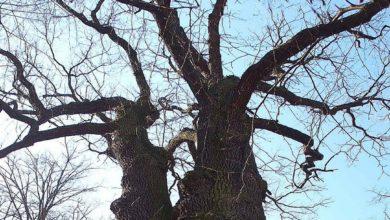 Photo of Drzewo Roku 2020. Oddaj głos na Dąb w Krzętowie
