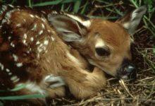 Photo of Znalazłeś porzuconą na polu lub w lesie małą sarenkę? Najpierw przeczytaj