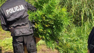 Photo of Radomszczańscy policjanci zlikwidowali plantację konopi