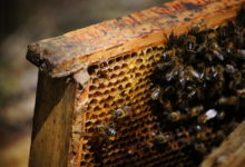 Photo of Dzisiaj obchodzimy Wielki Dzień Pszczół. Dlaczego należy o nie dbać?